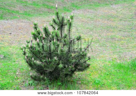 Pine Tree On Spring Time In Lithuania Country