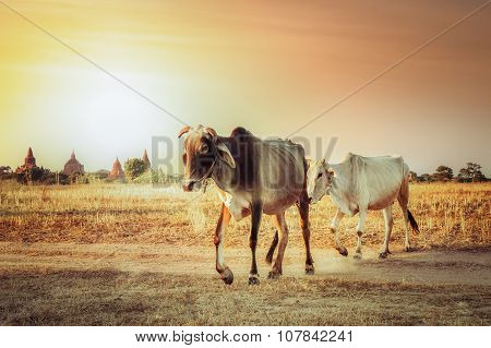 Rural Asian Landscape With Cows At Sunset Meadow