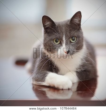 Portrait Of A Domestic Cat Of A Smoky-white Color