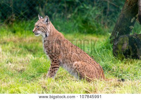 Bobcat sitting
