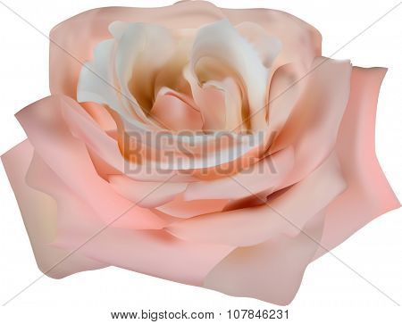 illustration with single tea rose flower isolated on white background