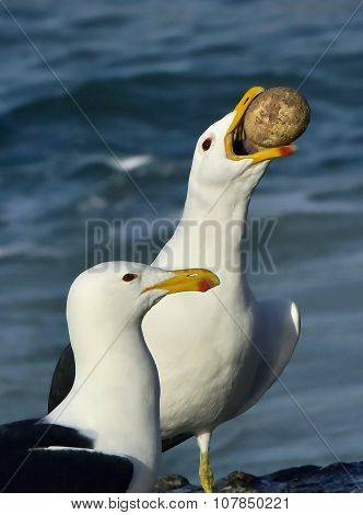 The Kelp gull (Larus dominicanus) holds stolen egg of the African penguin  (spheniscus demersus)
