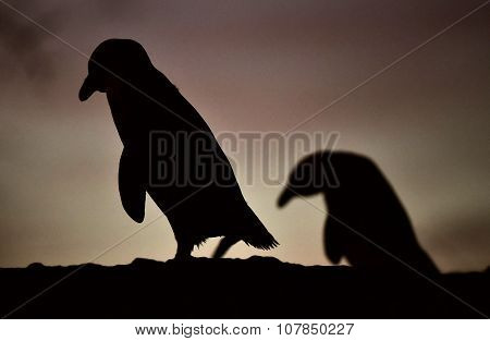 African Penguin In Twilights. African Penguin (spheniscus Demersus)