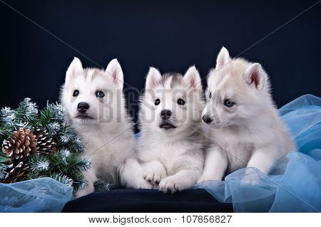 Three puppies husky and spruce wreath