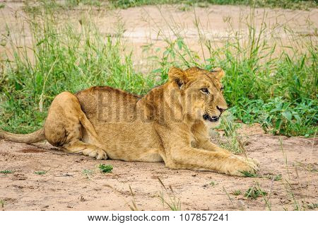 Lion Waiting To Hunt In Tarangire Park, Tanzania
