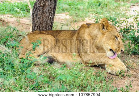 Lion Licking Itself In Tarangire Park, Tanzania