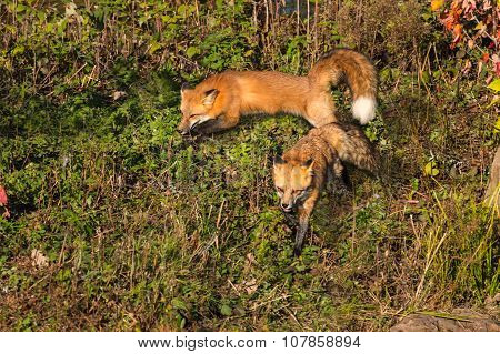 Two Red Fox (vulpes Vulpes) Run About