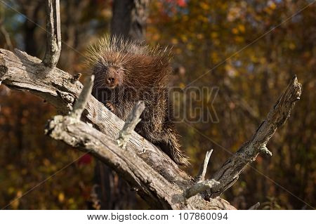 Porcupine (erethizon Dorsatum) Looks Out From Branch