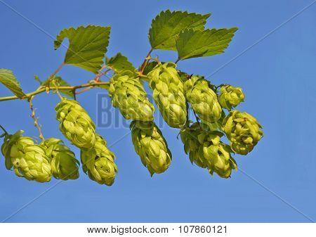 Branch Of Hop Cone
