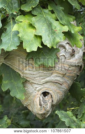 Active Wasp Nest