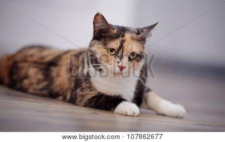 Domestic Cat Of A Multi-colored Color