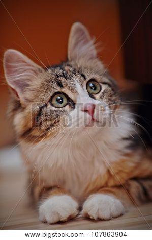 Portrait Of A Domestic Multi-colored Kitten