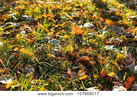 Natural Background With Green Grass And Yellow Leaves. Autumn Lawn With Fallen-down Foliage.