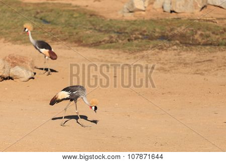 African crowned crane, Balearica regulorum