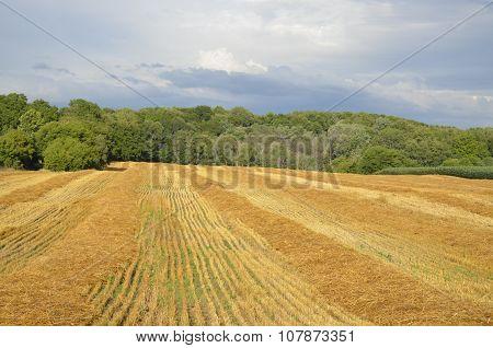 Freshly cut field of wheat