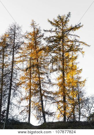 Larch Trees In Autumn Colors
