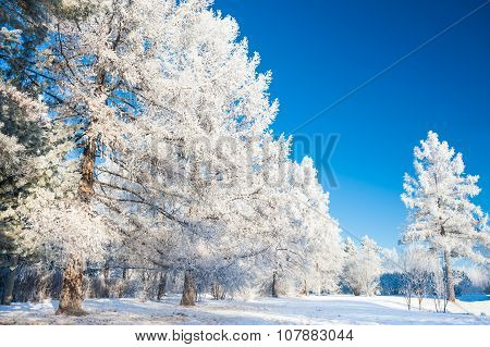 Big Pine Trees With Hoarfrost Against The Blue Sky.