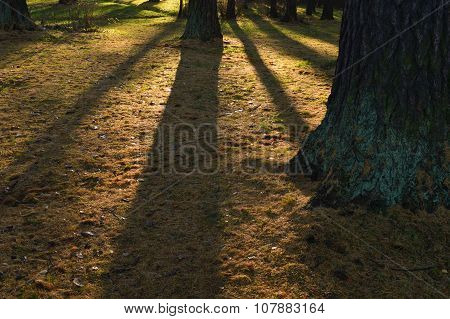 Shadows Of Larch Trunks In The Ground Cover Autumn