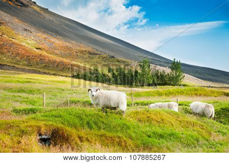 White Sheep On The Green Grass In The Mountains
