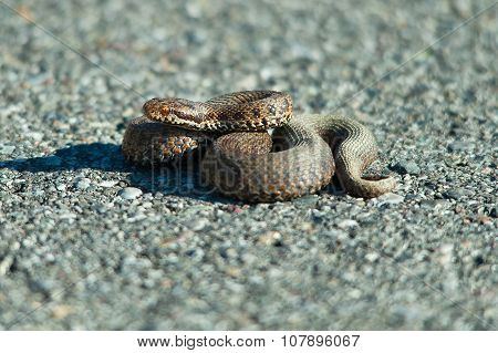 Viper Adder Berus On The Road