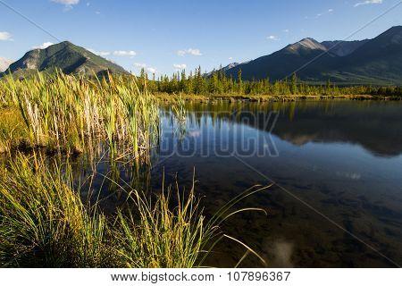Reeds in lake shallows