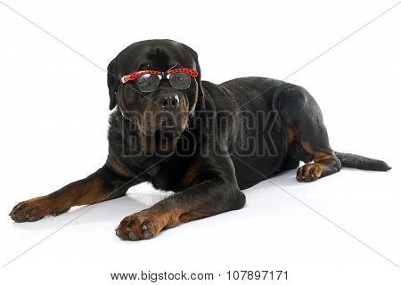 An Adult Rottweiler