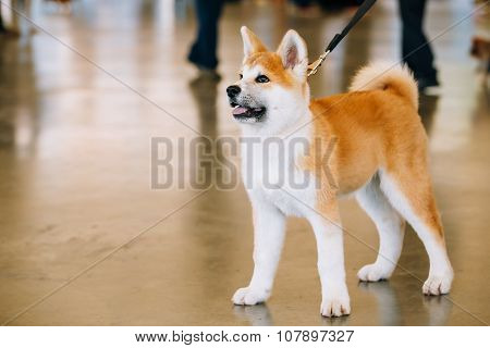 Young White And Red Akita Inu Dog, Puppy