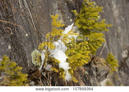 Small Trees And Colorful Moss Grow On Coastal Rock,melting Snow. Spring Season