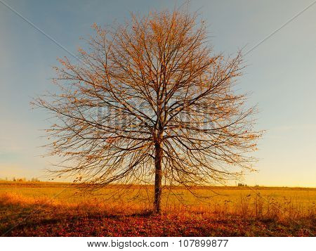 Lonesome autumn tree without leaves
