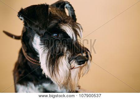 Small Miniature Schnauzer Dog Zwergschnauzer