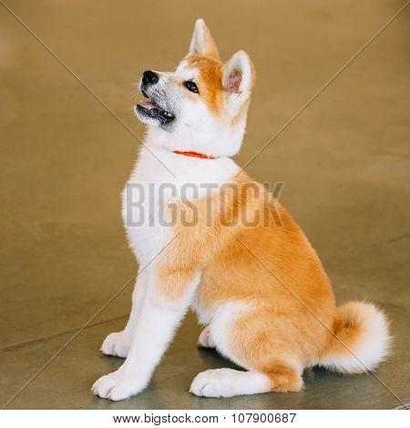 Young Akita Dog - Akita Inu, Japanese Akita - Puppy