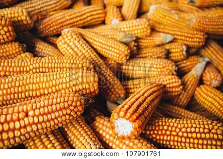 Yellow Corn Background. Harvest Agricultural Harvest Concept