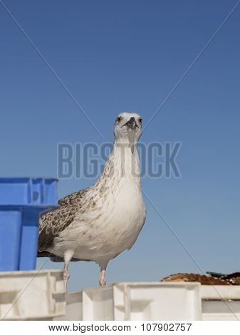 Young herring gull (Larus Argentatus) standing on a crate filled with freshly fished scallops