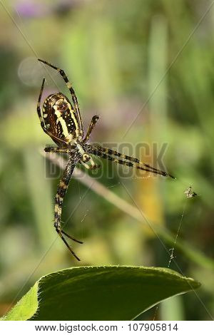 Brown Yellow  Spider On Spiderweb