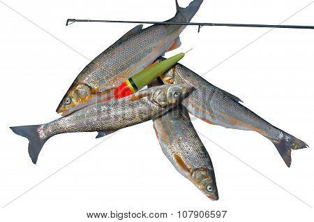 Catch Of Fish (leuciscus Brandti)