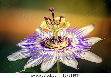 Flower Of Passiflora In The Garden.
