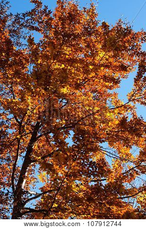 Beautiful autumn orange tree in forest lightened by sun