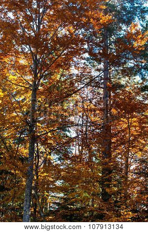 Beautiful autumn yellow orange trees in forest lightened by sun