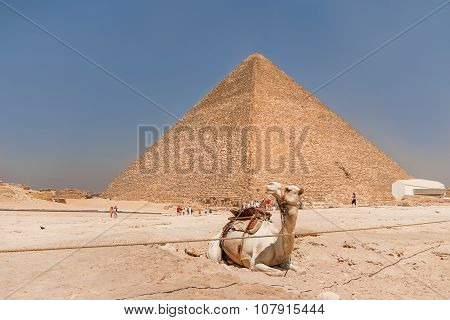 Camel Lies Next To The Great Pyramid Of Giza. Tourists Are Walking Around Pyramid.