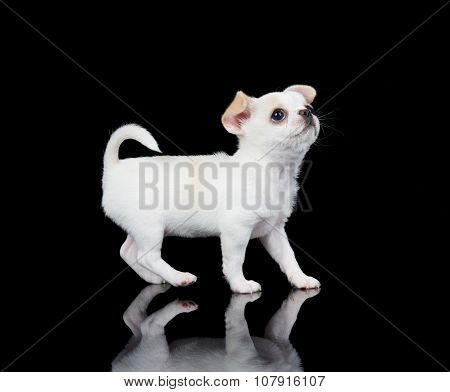 White Puppy Of Chihuahua