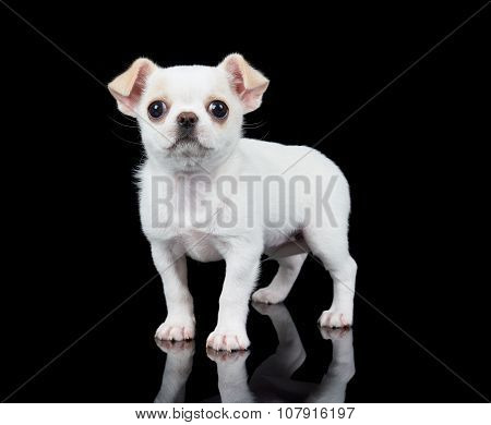 Small Puppy Of Chihuahua