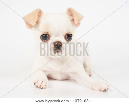 Adorable Puppy Of Chihuahua
