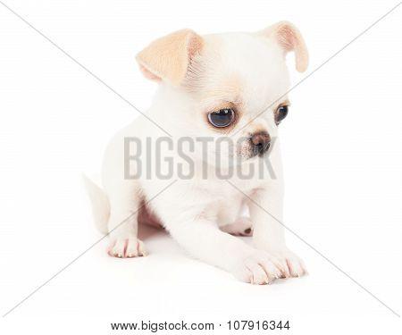 White Puppy On White