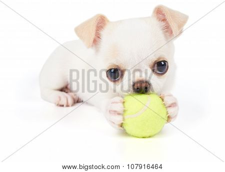 Puppy Of Chihuahua Plays With Ball