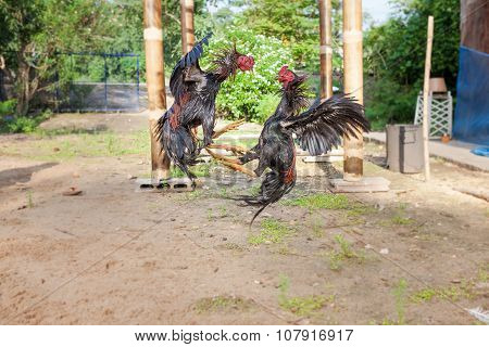 The Fighting Chickens