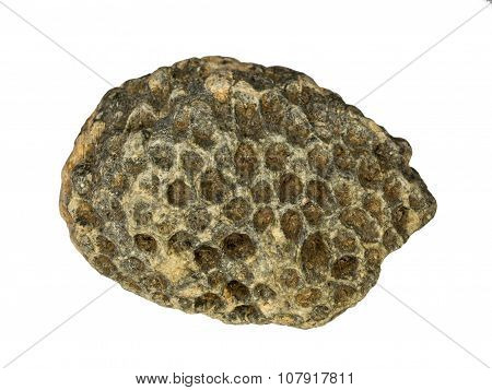 A piece of petrified hexacorallia
