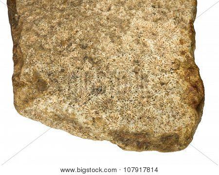 Hexacorallia fossilized in limestone