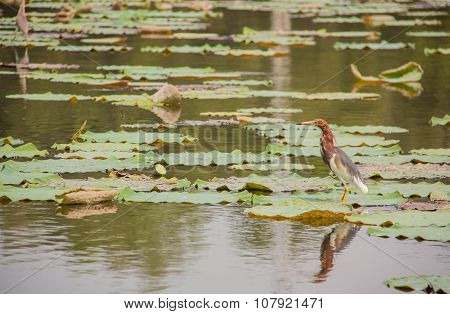 Chinese Pond Heron And Lotus Pond.