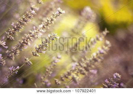 Beautiful Lavenders