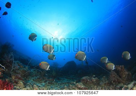School of fishes: Redtail Butterflyfish